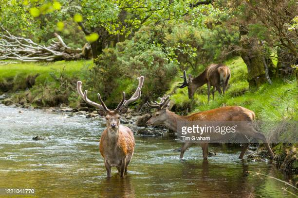 Red Deer stags, Cervus elaphus, with large antlers beside young male in river scene at Lochranza, Isle of Arran, Scotland.