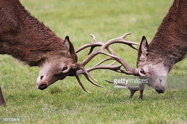 Rutting red deer stags fighting with antlers locked