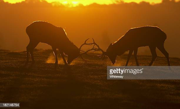 Red deer stags in rut ready to fight visible breath