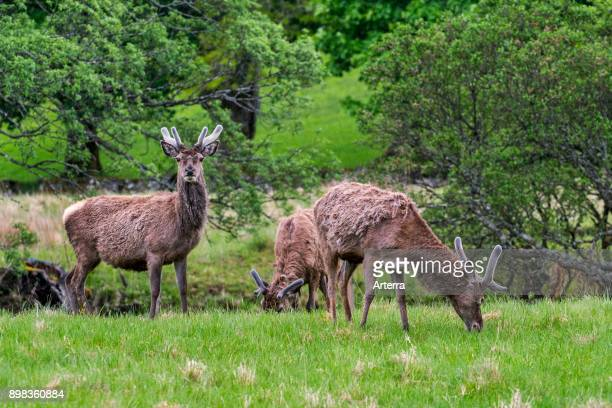 Red deer stags with antlers covered in velvet grazing in grassland in the rain in the Scottish Highlands in spring Scotland United Kingdom