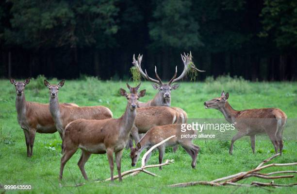 Red deer standing on the grounds of Gut Leidenhausen in Cologne Germany 02 September 2017 Mating season for these animals begins around mid September...