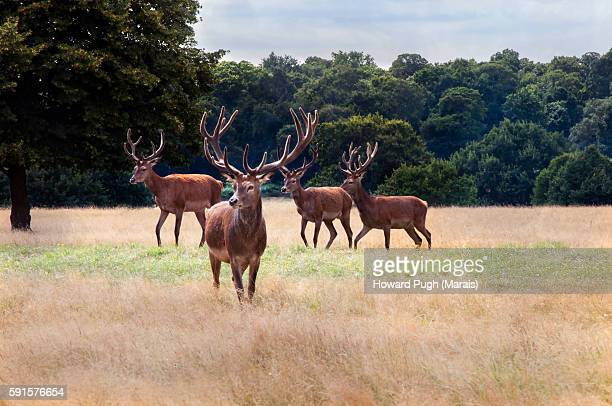 red deer summer city. - richmond park stock pictures, royalty-free photos & images