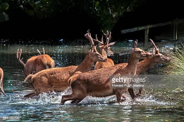 red deer summer city. - cervo maschio foto e immagini stock