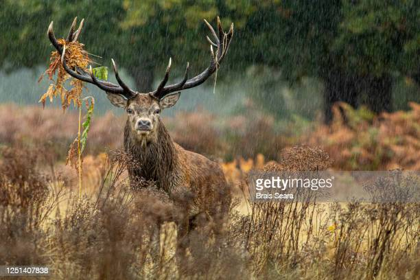 red deer (cervus elaphus) under the rain - richmond park stock pictures, royalty-free photos & images