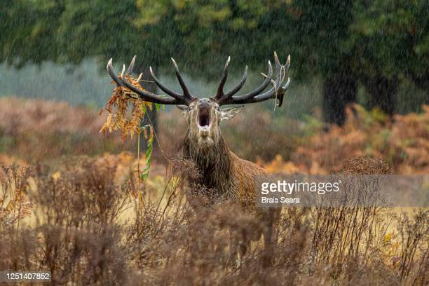 red deer (cervus elaphus) under the rain - animals in the wild stock pictures, royalty-free photos & images