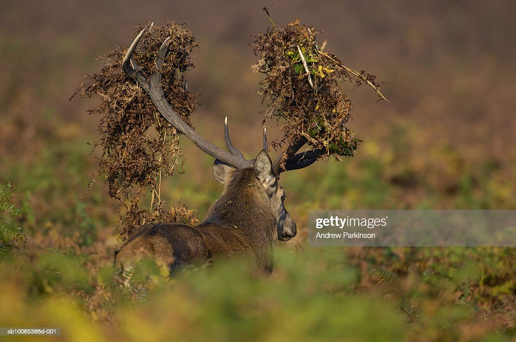 Red Deer (Cervus elaphus) with antlers covered in bracken : Foto stock