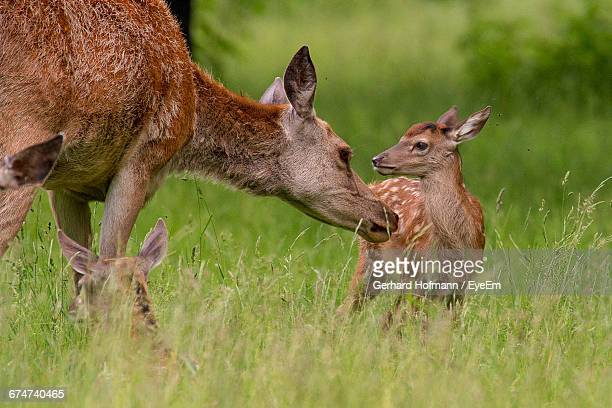 Red Deer With Fawn On Grassy Field