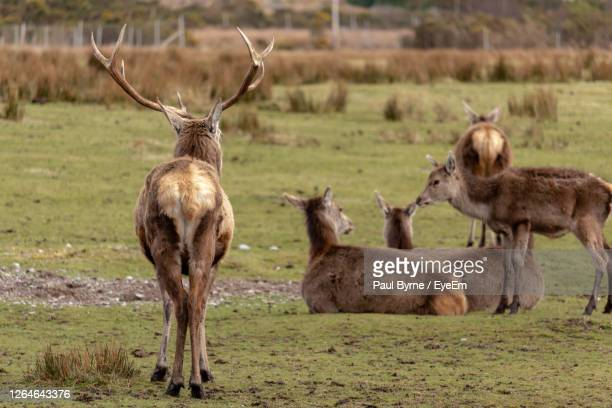 red deers in torridon - wester ross stock pictures, royalty-free photos & images