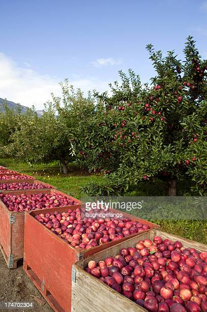 red delicious apple tree container bins harvest organic - thompson okanagan region british columbia stock pictures, royalty-free photos & images