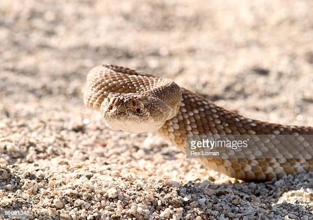 red diamond rattlesnake - diamondback rattlesnake stock pictures, royalty-free photos & images
