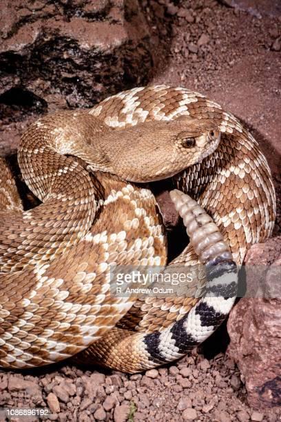 red diamondback rattlesnake - diamondback rattlesnake stock pictures, royalty-free photos & images