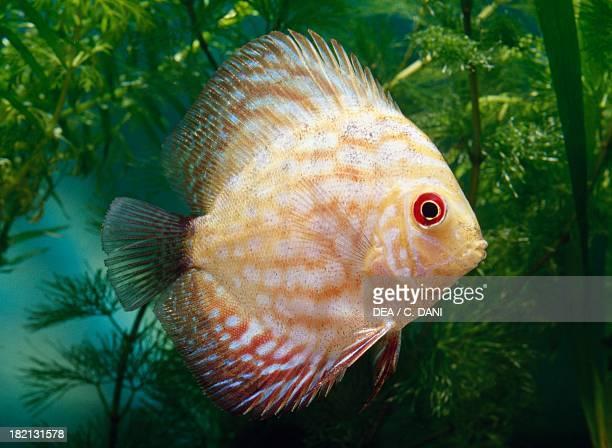 Red discus Cichlidae in aquarium