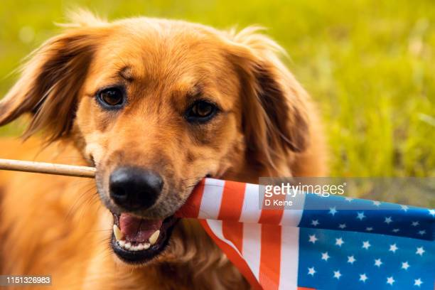 red dog lying down on the grass and holding american flag - july stock pictures, royalty-free photos & images