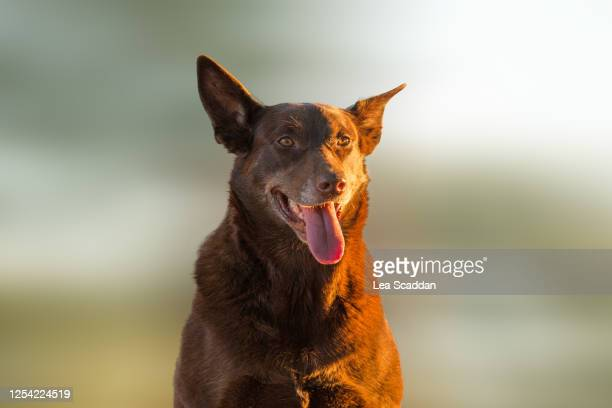 red dog - オーストラリアンケルピー ストックフォトと画像