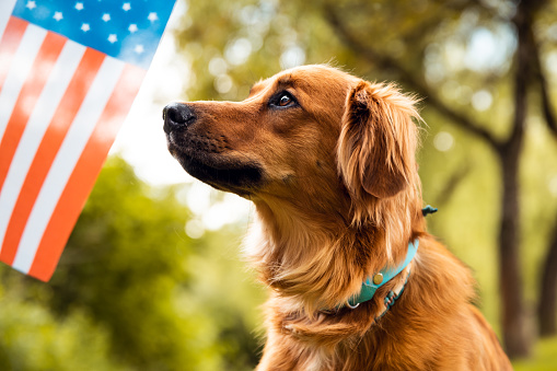 Red dog sitting and looking to American flag 1151326969