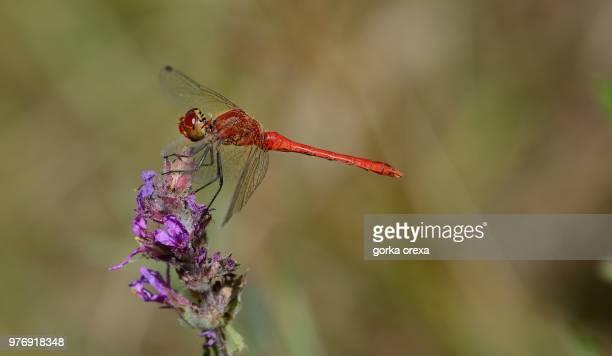red dragonfly on flower, biscarrosse, aquitaine-limousine-poitou-charentes, france - biscarrosse photos et images de collection