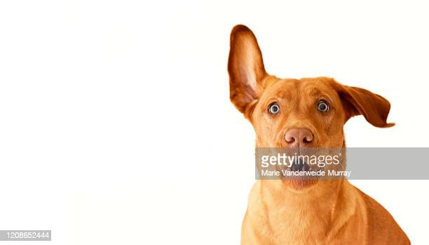 red dudley lab with one ear up - young animal stock pictures, royalty-free photos & images
