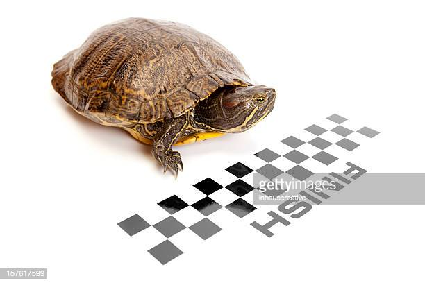 red ear slider turtle crossing the finish line - finish line stock pictures, royalty-free photos & images