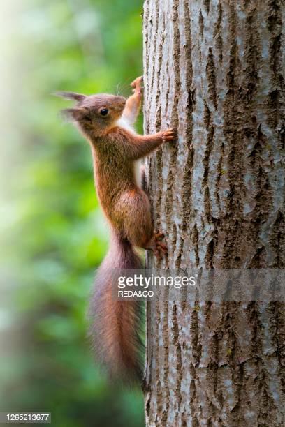 Red european squirrel climbing a tree. Tizzano. Emilia Romagna. Italy. Europe.