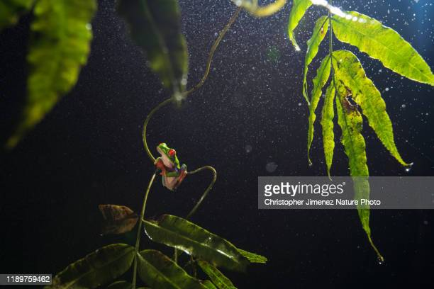 red eye tree frog during the night and raining - christopher jimenez nature photo stock pictures, royalty-free photos & images