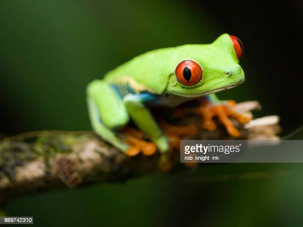 Red Eye Tree Frog in Costa Rica