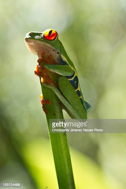 Red eye tree frog