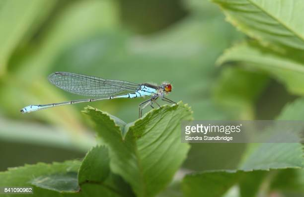 A Red Eyed Damselfly (Erythromma najas) perched on a leaf.