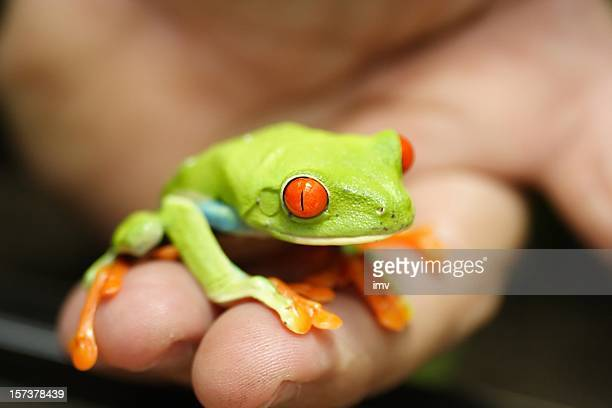 Red eyed frog in the palm of my hand