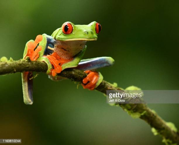 red eyed small frog - tree frog stock pictures, royalty-free photos & images