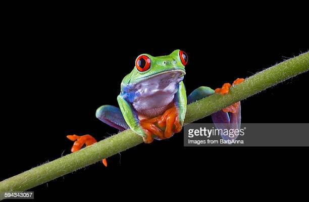 Red Eyed Tree Frog balancing on a stem