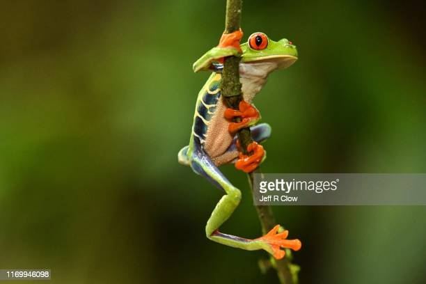 red eyed tree frog climbing - animal stock pictures, royalty-free photos & images