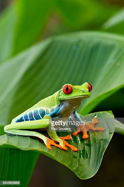red eyed tree frog, costa rica - tree frog stock pictures, royalty-free photos & images