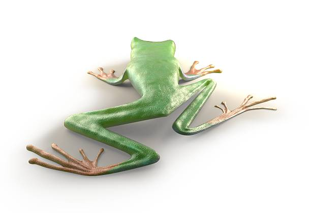 free red eye tree frog images pictures and royalty free stock