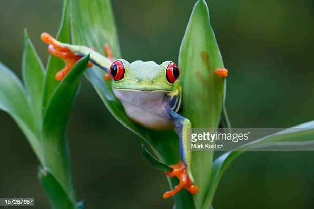 Red Eyed Tree Frog  Maneuvering Around Rainforest