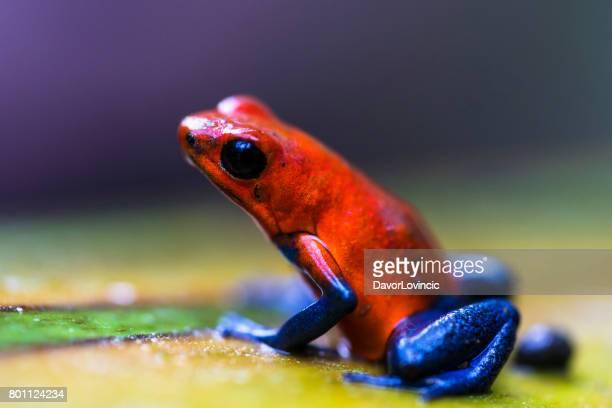 Red eyed tree frog near Centro Ecologico Los Guatuzos, Nicaragua