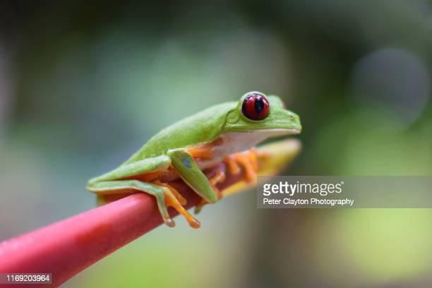 red eyed tree frog - parte del corpo animale foto e immagini stock