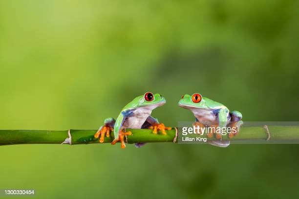 red eyed tree frog - animal stock pictures, royalty-free photos & images