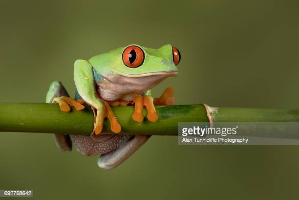 red eyed tree frog - tree frog stock pictures, royalty-free photos & images