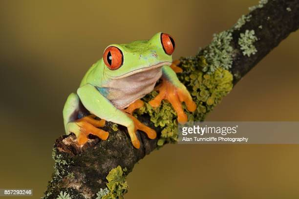 red eyed tree frog - frog stock pictures, royalty-free photos & images