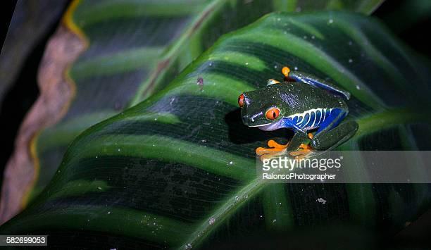 Red eyes frog