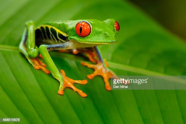 red eyes - tree frog stock pictures, royalty-free photos & images