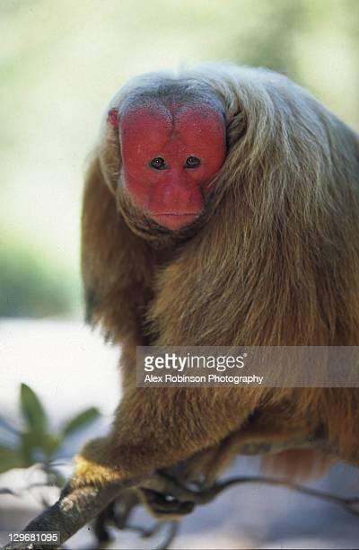 Red faced Uakari monkey