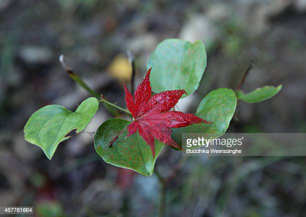 A red fallen maple leave seen placed on another leave on October 24 2014 in Asago Japan According to Japanese weather forecasting company Weather...