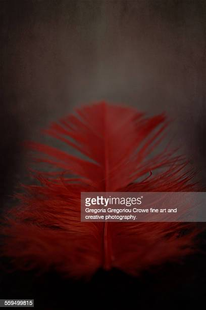 red feather close-up - gregoria gregoriou crowe fine art and creative photography. foto e immagini stock