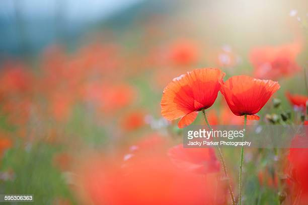 red field poppies - west flanders stock pictures, royalty-free photos & images