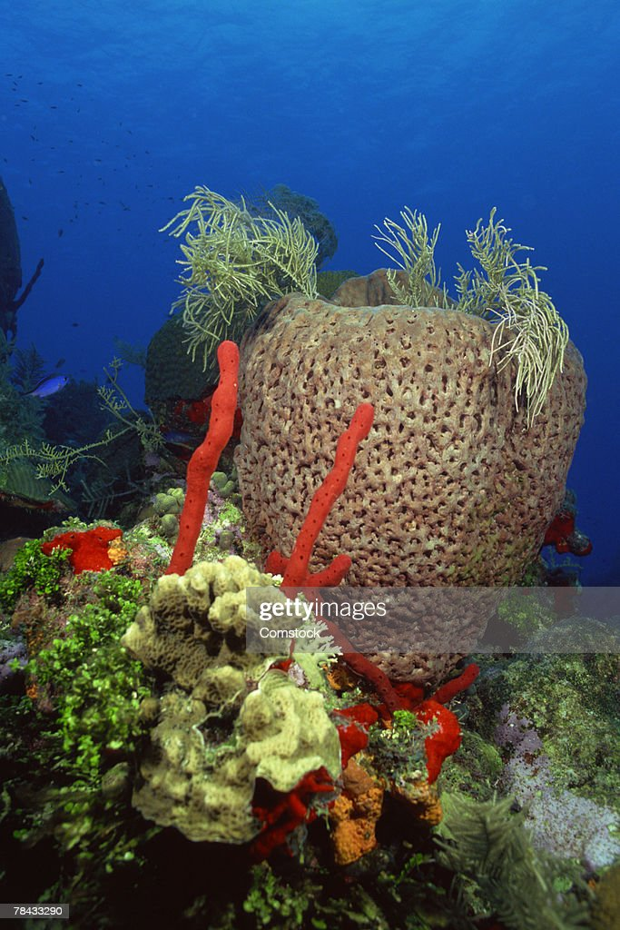 Red finger sponge and bowl sponge in coral reef : Stockfoto