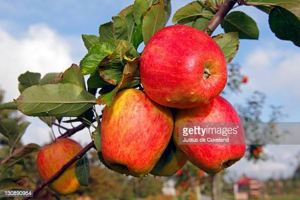 Red Finkenwerder Herbstprinz Apples (Malus domestica) growing on an apple tree, fruit-growing region Altes Land, Lower Saxony, Hamburg, Germany, Europe