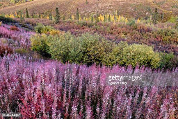 red fireweed at tombstone territorial park, dempster highway, yukon territory, canada - territory stock pictures, royalty-free photos & images