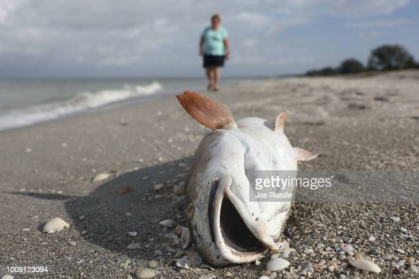 Red fish is seen washed ashore after dying in a red tide on August 1 2018 in Captiva Florida Red tide season usually lasts from October to around...