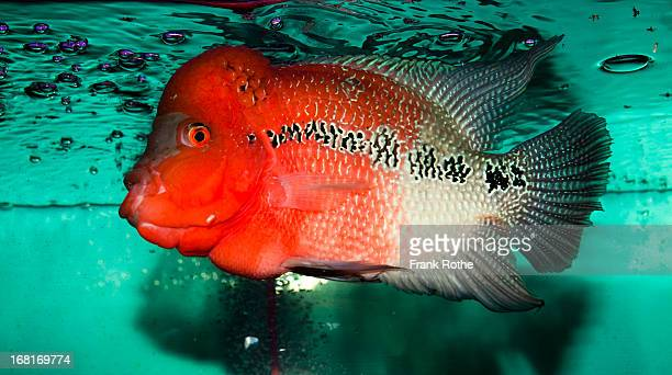 red fish swims in a green looking tank - redfish stock photos and pictures